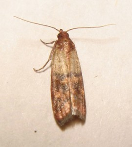 Sometimes Called Pantry Moths Or Meal The Indian Moth Loves Grains And Other Foods That You In Your Cabinets