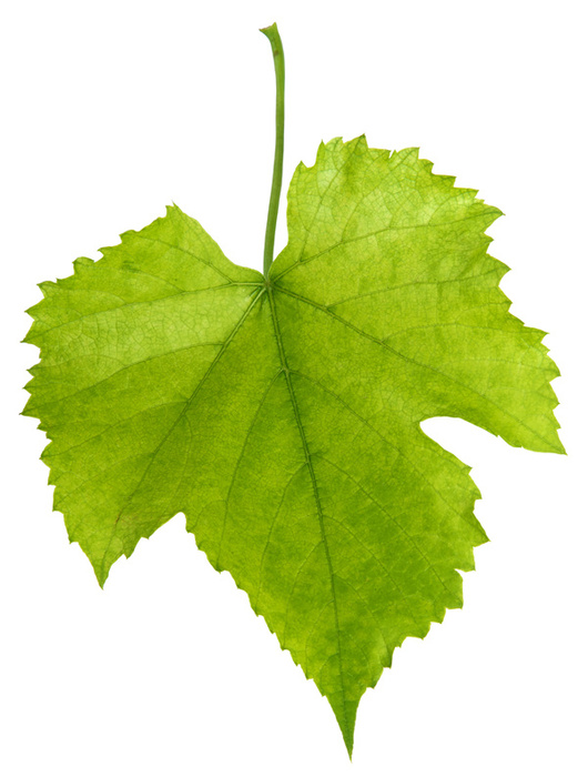 Grape_leaf.jpg